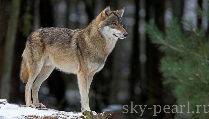 сон о волке