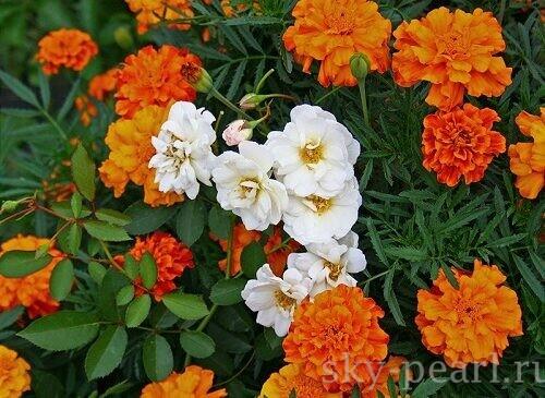 розы и бархатцы