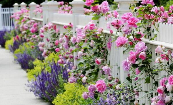 розы и лаванда в саду